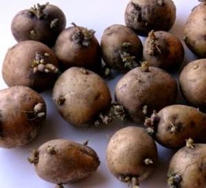 выраст ранний  картофел