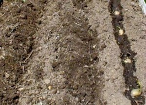 как правильно посадить картофеля