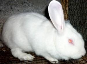 методы разведения кролик белый1
