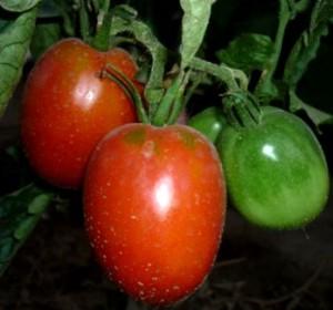 Рассада помидоров перц баклаж (3)