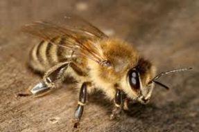 пчелиный яд лечение  (1)