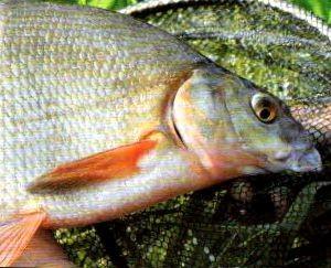 как сохр свеж рыбы 1