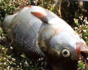 посол икры рыб