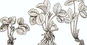 как правильно сажать клубнику  выбор рассады(1)