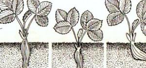 как правильно сажать клубнику глубина посадки