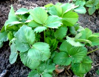 советы по выращиванию клубники