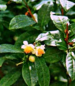 чай с фруктами (2)