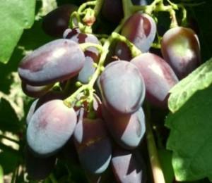 виноград кисть для  вино