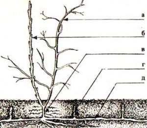 выращивание малины строение куста и корней