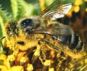 цветочн пыльца