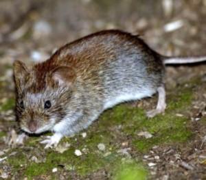 как бороться с мышами и зайцами на участке (2)