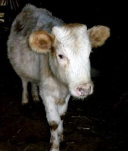 как кормить теленка