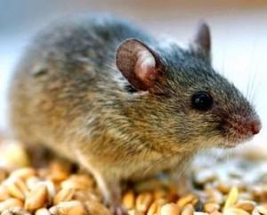 мыши в доме1