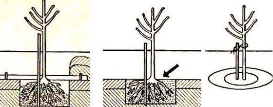 как сажать деревья1