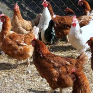 чем кормить кур
