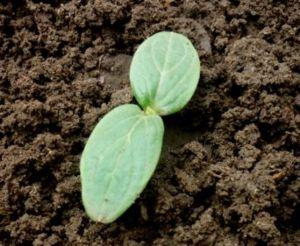как выращивать огурцы2