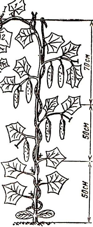 семена огурцов в тепл подвязывание