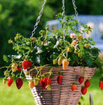 выращивание клубники1