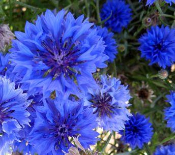 Садовые васильки цветы фото
