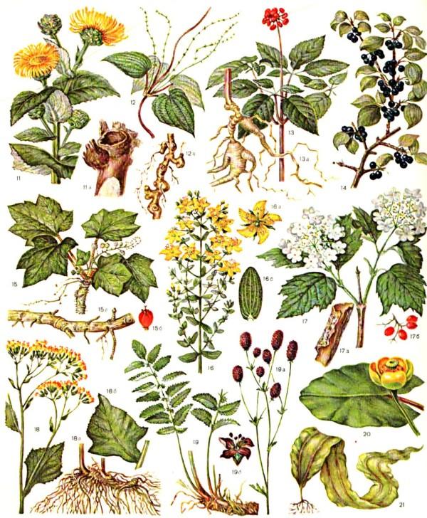 лекарственнные-растения