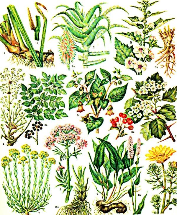 лекарственные-растения