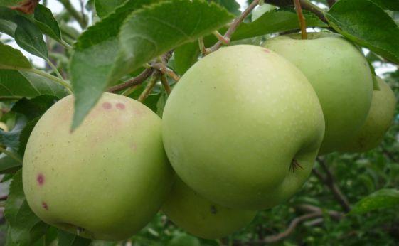 яблоки моченые пан перв
