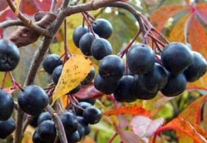 рябина настойка черноплод