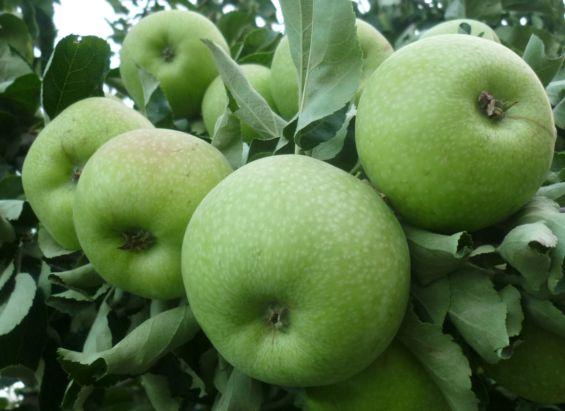 когда снимать  яблок