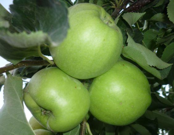 хранение яблок и гр