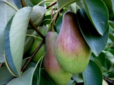 хранить яблоки и груши (2)
