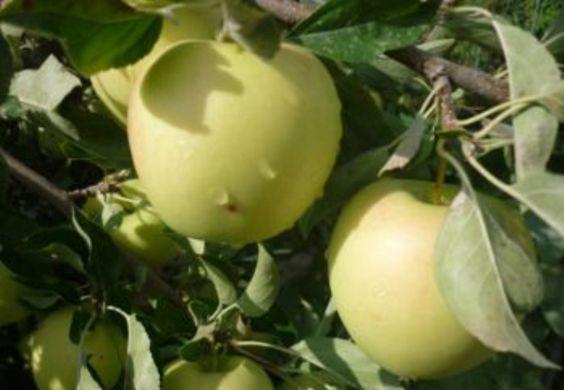яблоки портятся при хранен голден