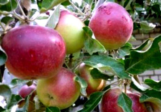 яблоки портятся при хран джонотан