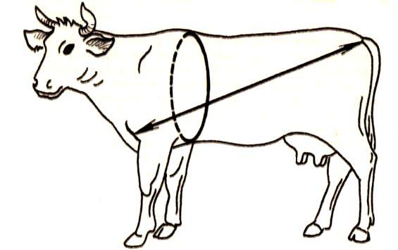 как определить вес коровы