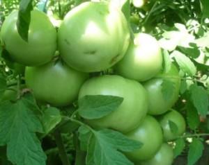 маринов помидоры зел (1)