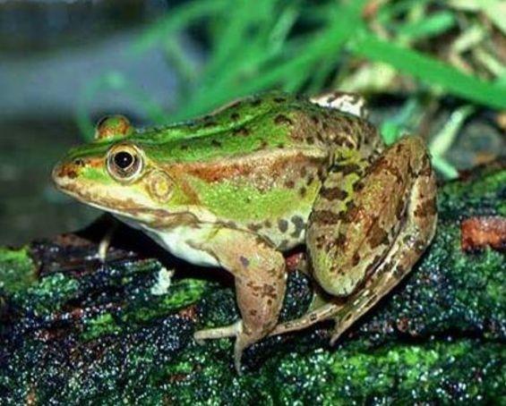 полезные лягушки прудовая