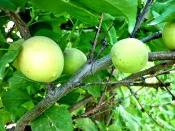 обрезка абрикоса 2