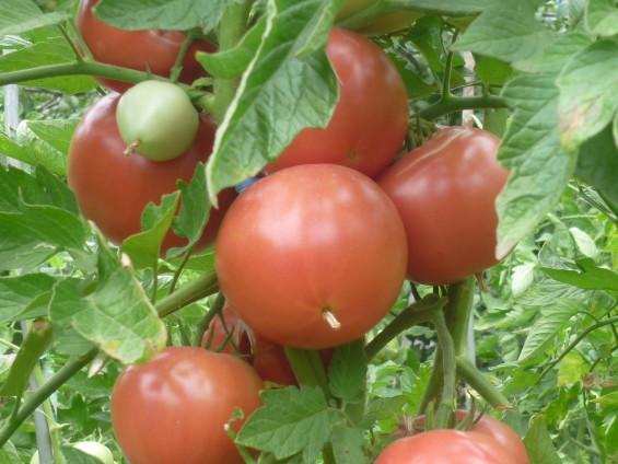 полив и подкормка помид