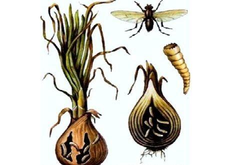 вредит лук муха лука (1)