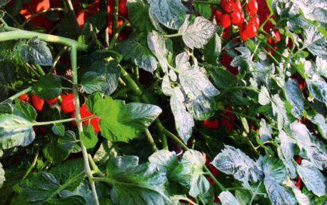 выбираем сорта томат (1)