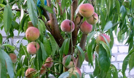 обрезка персикаа