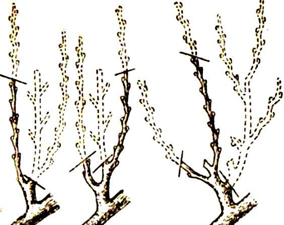 обрезка персика1