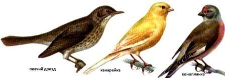 певчие птицы (5)