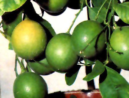 лимон мейера (1)