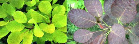 скумпия цвет листьев
