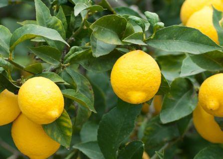 сорта лимонов курский
