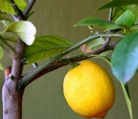 крона и обрезка лимона (2)