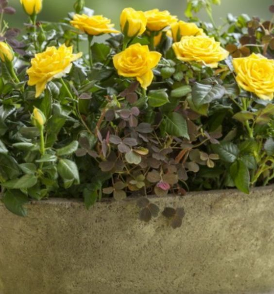 миниатюрные роз