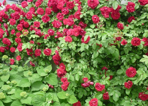 размнож роз отводками4 (3)