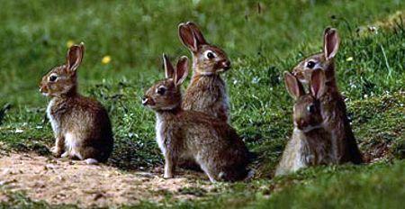 дикие кролики (1)