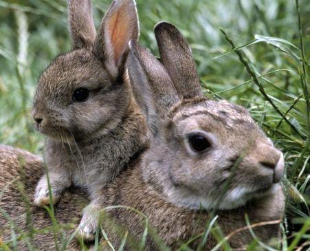 дикие кролики (2)